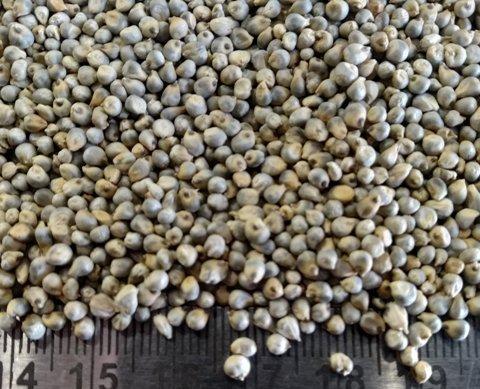 Indian Green Millet Exporter