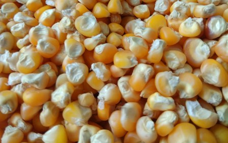 Yellow Maize Exporter